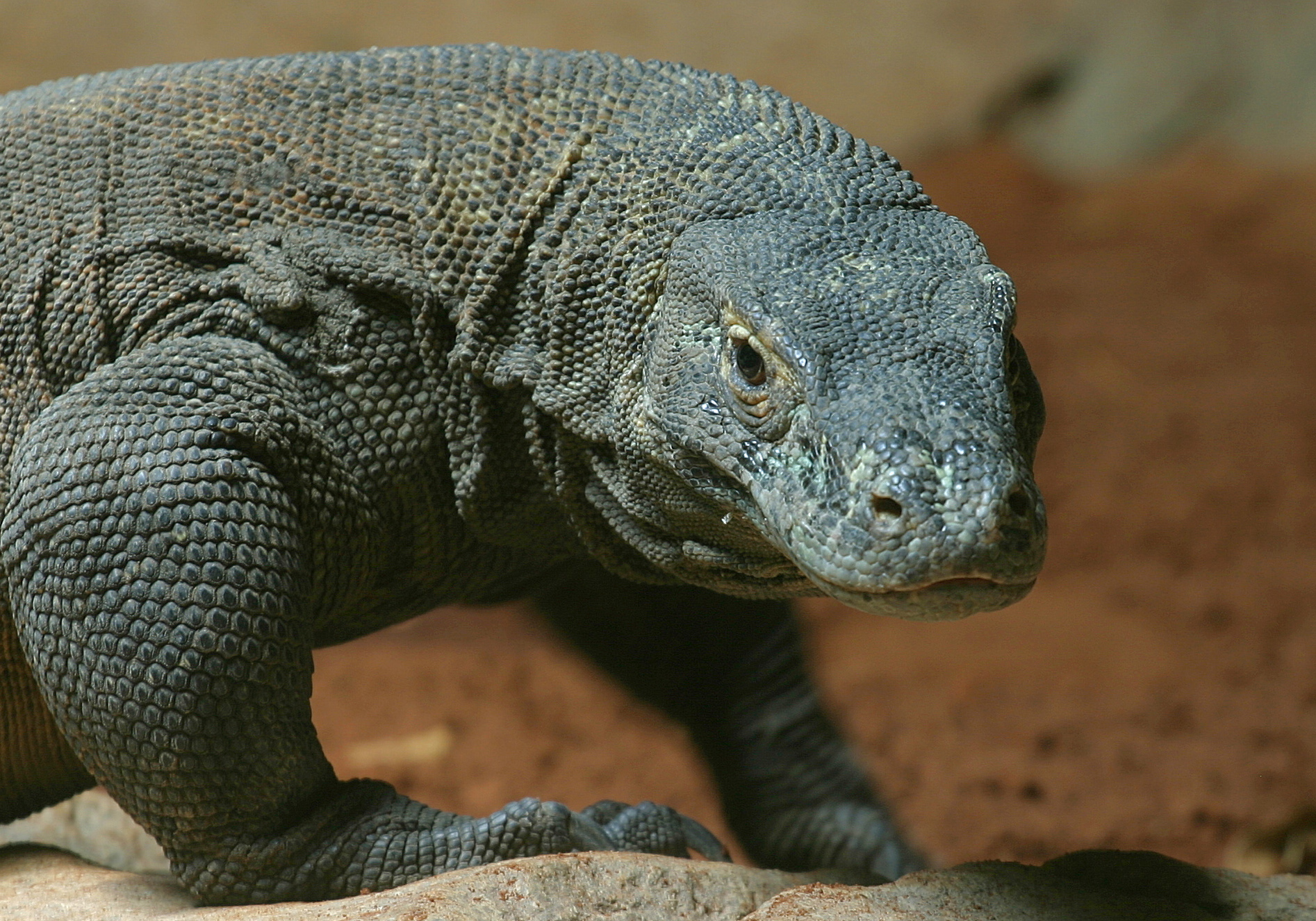komodo-dragon-indonesia-national-animal-2.jpg